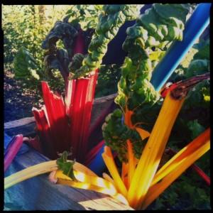 Harvest chard
